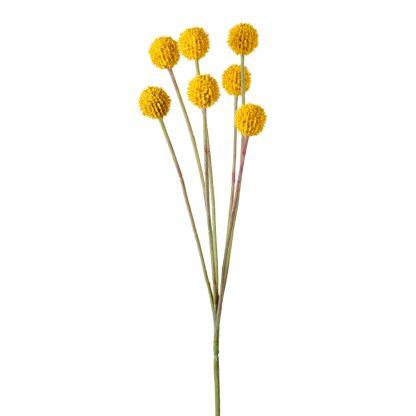 Craspedia gul 60 cm Mr Plant