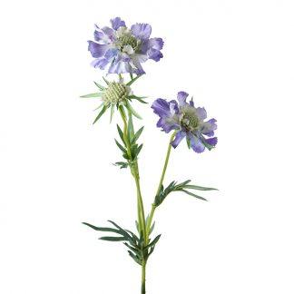 Skabiosa blå Mr Plant blomst