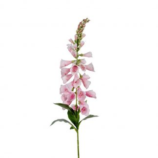 Digitalis rosa 90 cm Mr Plant