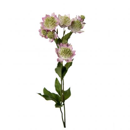 Astrantia lilla 50 cm Mr Plant