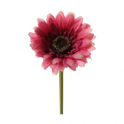 Rosa gerbera 25 cm Mr Plant