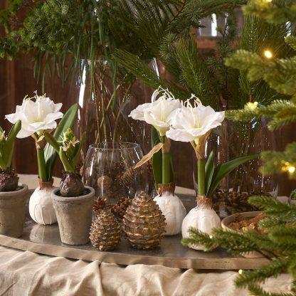 Amaryllis 30 cm hvit Mr Plant