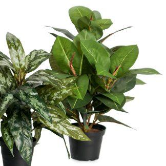 Fikus robusta 40 cm Mr Plant plante