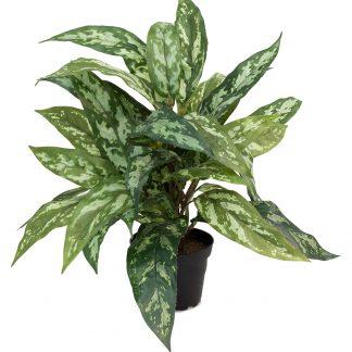 Aglonema 45 cm plante Mr Plant