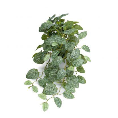 Fittonia 50 cm Mr Plant