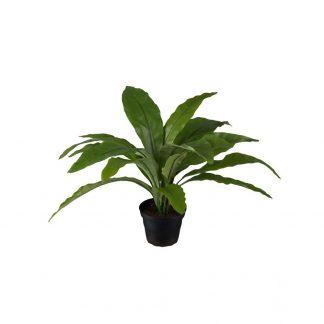 Asplenium 30 cm Mr Plant