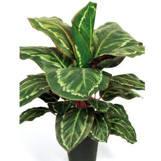 Mr plant maranta 60 cm