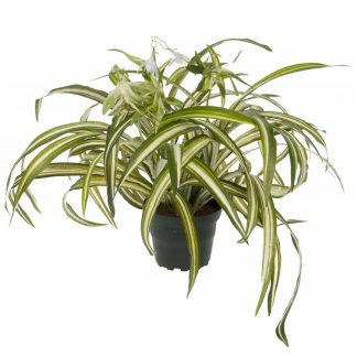 Clorophyton 35 cm grønnrenner Mr Plant