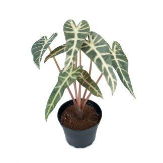 Alocasia 30 cm Mr Plant